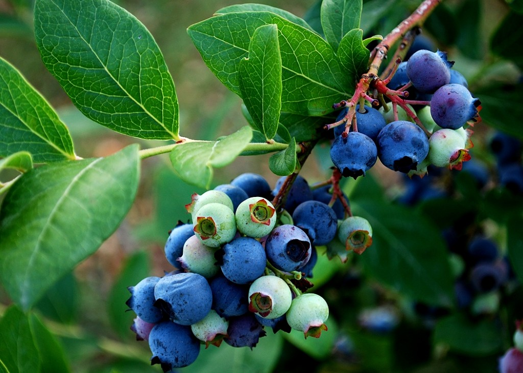 Blueberry Gardens U Pick Organic U Pick Blueberries In